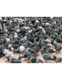 Filet Mailles de 50mm anti pigeons
